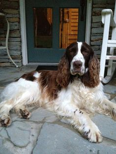 Garden & Gun magazine is running their annual Good Dog contest.  My boy, Jake, is one of the entries.  Please vote for Jake!  He is a 6 year old rescued English Springer Spaniel - Thank you!