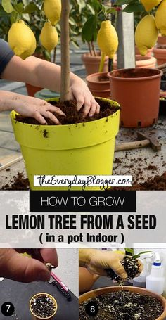 How to Grow Lemon Tree from Seed Indoors How to Grow Lemon tree - You may think you can only grow lemon trees outdoors in a warm region, but this is not the case. A lemon tree can do very well in a pot using the correct container and proper care. Home Vegetable Garden, Fruit Garden, Edible Garden, Garden Grass, Garden Pond, Garden Fencing, Indoor Vegetable Gardening, Garden Shade, Garden Pallet