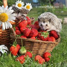 """When you think of having those pet with quills, you may ask first, """"What do hedgehogs eat?"""" You have to ensure that you will be providing them with the proper food and diet for them to stay healthy and active..."""