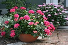 The bigleaf hydrangeas in the Cityline® series (Cityline® Paris hydrangea shown here) are super compact, making them perfect for container gardens. http://emfl.us/H1Ld