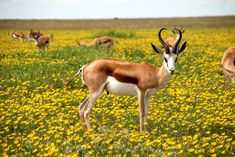One of many great free stock photos from Pexels. This photo is about nature, Springbok, wildlife Wild Life, Wildlife Of India, Anime Sensual, Les Continents, Bloom Blossom, Gras, Fauna, Stock Foto, Organic Gardening