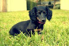 Emma   Flickr - Photo Sharing! #dauchshund #doxie #miniature