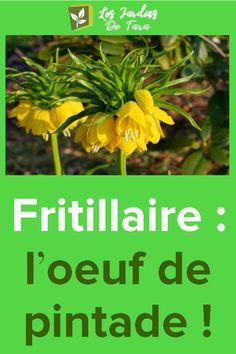 Fritillaire: l'oeuf de pintade! Plants, Herbs