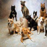 American Pit Bull Terrier wallpapers for desktop