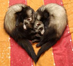 Ferret Love (I must get Grey & Juvia to pose like this for a sweet photo shoot, possibly a ying yang as well.)