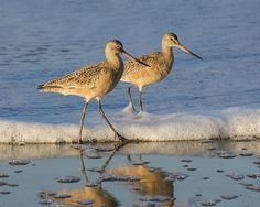 Marbled Godwits https://www.facebook.com/bruce.frye.photography