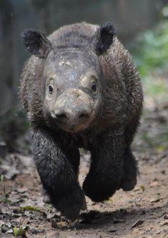 Andantu - the first baby Sumatran Rhino born at the Sumatran Rhino Sanctuary in Sumatra!