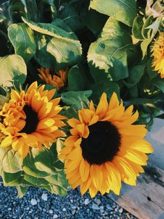 positivity ✨ — an old set of pictures from a warmer, sunnier day. Growing Sunflowers, Sunflowers And Daisies, Sunflower Iphone Wallpaper, Flower Phone Wallpaper, Happy Flowers, Beautiful Flowers, Sun Flowers, Yellow Flowers, My Flower