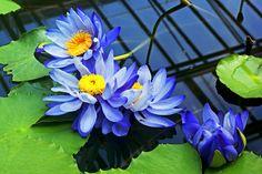 """* Ninféia * """"Blaue Seerosen"""".   (Nymphaea gigantea)."""