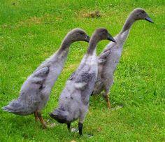 Blue Indian Runner Ducks