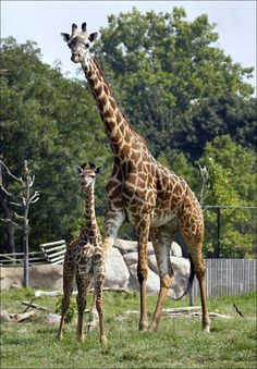 Tuli-the baby giraffe at the Toledo Zoo <3  I can't wait to meet you!!
