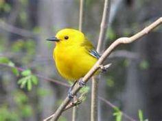 north american song birds