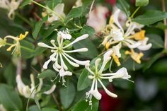 Honeysuckle 'Scentsation'