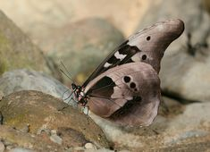 Morpho Butterfly, Blue Morpho, Butterfly Species, Beautiful Butterflies, Peru, Moth, Insects, Exotic, Photography