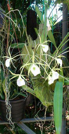 Encyclia Cordigera Care | Brassavola perrinii