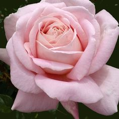 """Amazing Grace™ From Scotland we bring you a most outstanding continual blooming rose.The fragrance is magnificent and wonderfully rich, much like an expensive Parisian perfume. The huge 7"""", 80+ petaled blooms have an old-fashioned look and quartered centers. The color is a blend of soft pink and cream. The rose has everything: strong fragrance, beautiful blooms and wonderful foliage. Makes a good cut flower."""