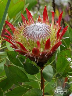 Protea Protea Cynaroides from Burncoose Nurseries Nurseries, Geo, South Africa, Plants, Pink, Shopping, Babies Rooms, Child Room, Plant