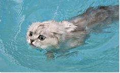 Swimming Cats Are So Funny