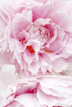 Zen Peony  I'd rather have roses on my table than diamonds on my neck. ~Emma Goldman  I'd have to say I agree with Emma Goldman on this one. For one of my landmark birthdays, I asked my husband for a large rock. Not the kind of rock I'd put on my finger, but a large boulder for the front yard. I wanted to plant flowers around it.  I took a bare spot in the very back of my yard, behind the woods, years ago, and turned it into a cutting garden.  Watching my mother die from Alzheimer's was…