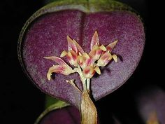 Unusual Flowers, Unusual Plants, Perennial Flowering Plants, Perennials, My Flower, Flower Art, Jewel Orchid, Rare Orchids, Planting Flowers