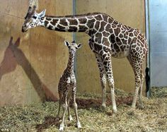 Baby giraffe George and his mother Genevieve