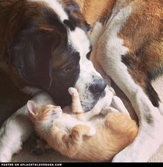 Sweet Saint Bernard Bootles loves to snuggle with his foster kitties ♥ - See more at: http://blog.jcagain.com/#sthash.l7729A9z.dpuf
