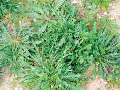Το σταμναγκάθι Herbs, Garden, Plants, Garten, Lawn And Garden, Herb, Gardens, Plant, Gardening