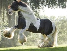 8 Fun Facts About Gypsy Vanners – One of The Most Beautiful Horses ...