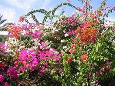 Bougainvillea in Israel Butterfly Food, Herbal Plants, Mindanao, Flowering Shrubs, Bougainvillea, All Plants, Garden Inspiration, Montreal, Israel