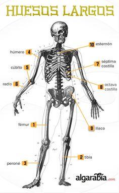 #Infografía: Los huesos más largos @Alex Everdeen lol just to mention you creo que no es necesario pero queria mencionarte u.u