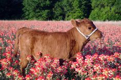 "urnotkyungsoo: "" my latest 2016 aesthetic includes baby cows standing in fields of flowers """