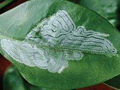 Jardim da Terra: COMO CULTIVAR: Praga de roseiras Watermelon, Plant Leaves, Fruit, Vegetables, Terra, Plants, Sites, Gardening, Gardening Tips