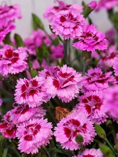 Stunning EverLast Dianthus Blooms all Season Long @Tammi Wilson we need spring now...i am ready to plant and plant and plant