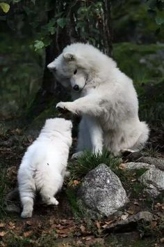 this Samoyed is showing his support by petting his son after a job well done. And this Samoyed is showing his support by petting his son after a job well done.And this Samoyed is showing his support by petting his son after a job well done. Cute Funny Animals, Cute Baby Animals, Animals And Pets, Funny Dogs, Cute Dogs And Puppies, I Love Dogs, Doggies, Beautiful Dogs, Animals Beautiful