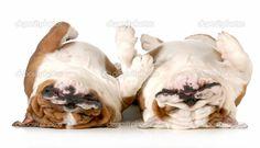 two english bulldogs - Google Search