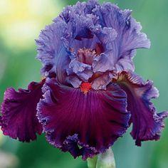 RARER THAN RUBIES bearded iris (Brecks 2017)