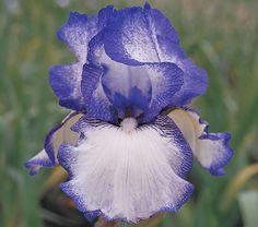 Reblooming Iris Hemstitched - White Flower Farm