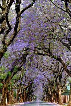 Jacaranda trees, Pretoria, South Africa Been here, seen this, so beautiful. Beautiful World, Beautiful Places, Beautiful Forest, Tree Tunnel, Flora Und Fauna, Parcs, Africa Travel, Oh The Places You'll Go, Wonders Of The World