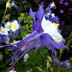 "swoopingly sweet aquilegia caerulea ""rocky mountain columbine"""