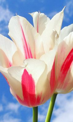 The flower is the poetry of reproduction. It is an example of the eternal seductiveness of life. Jean Giraudoux   - Marvelous   tulips...www.lovehealsus.net
