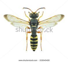 Wasp Cerceris tuberculata (male) on a white background - stock photo