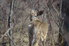 White tailed deer White Tail, Kangaroo, Deer, Wildlife, Photos, Animals, Baby Bjorn, Pictures, Animales
