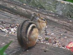 our resident chipmunk, scottie