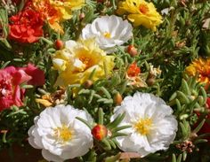 Portulaca, commonly known as Moss Rose, is a drought tolerant flowering 'weed' that bears splashes of colorful flowers in hot and dry climates.