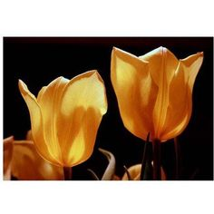 Trademark Fine Art Tulips X Canvas Art by Martha Guerra, 22x32, Multicolor