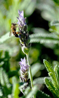 Lavender Honeybee by Laurette van der Merwe, via 500px