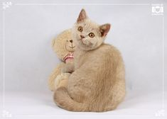 Lovely boy - British Shorthair cat - rare fawn color
