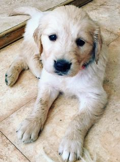 Charlie-the-Golden-Retriever