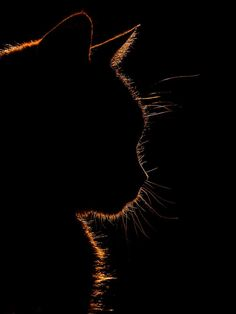 Nuestro gato a la luz del sol por Sarah Di Tucci en YouPic - Süße Katzen ! Silhouette Photography, Cat Photography, Crazy Cat Lady, Crazy Cats, Beautiful Cats, Animals Beautiful, Animals And Pets, Cute Animals, Black Paper Drawing