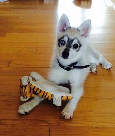 My Alaskan Klee Kai Small Dog Breeds, Small Dogs, Miniature Husky, Alaskan Klee Kai, Dog Mixes, Steve Perry, Love Pet, Shiba, My Animal